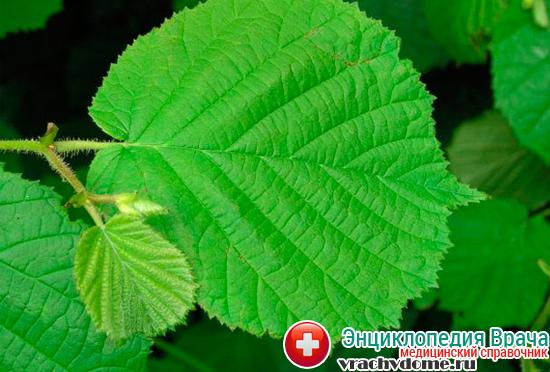 Листья орешника