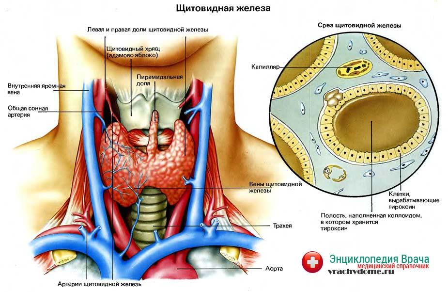 Строение щитовидной железы и гормоны, которые она вырабатывает