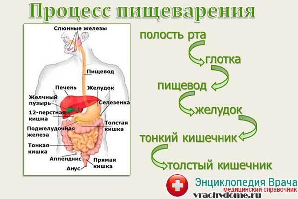 Физиология пищеварения