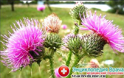 Шрот семя расторопши применяют в лечении заболеваний печени и желчных путей