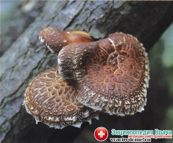 Шиитаке — целебные грибы в борьбе с раком